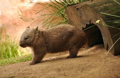 The Australian wombat!